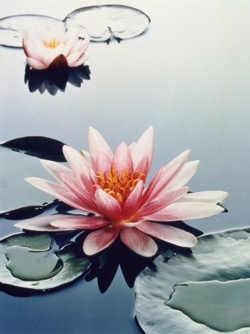 Two water lilies Photographic Print