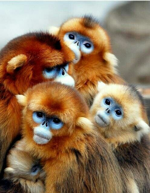 African snub nosed monkeys @animaIlife I think I want to join their cuddle party.