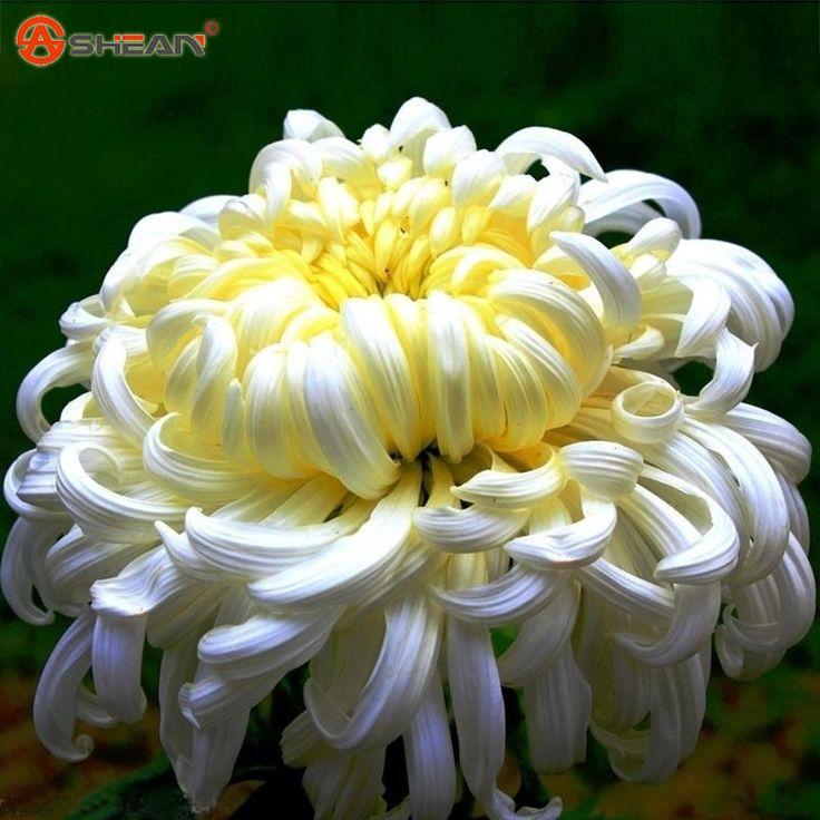 white chrysanthemum flower plant