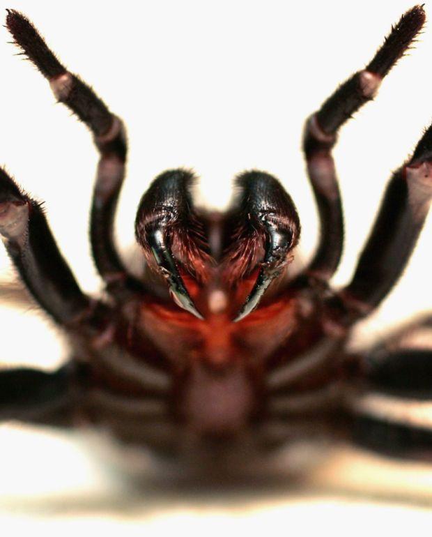 australian funnel web spider