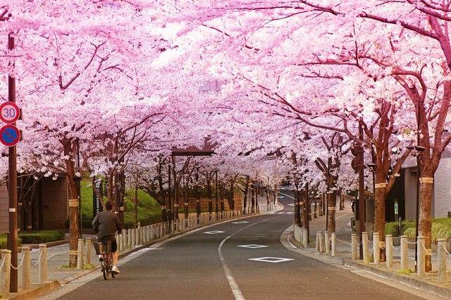 Cherry blooms in Japan