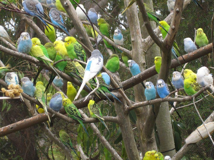 periquitos: Animals, Parakeets, Budgies, Tree, Birdie, Birds