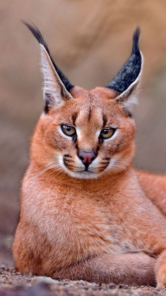 Caracal resting