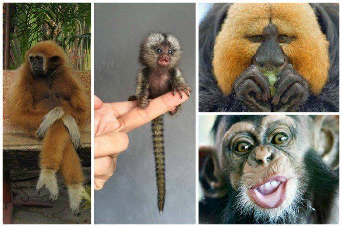 Человеческие родственнички - обезьяны. Интересные факты