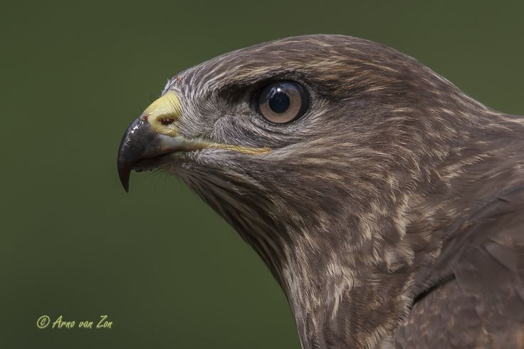 The young one..... - This juvenile common buzzard (Buteo buteo) visited the hide when I was waiting for a Northern Goshawk. He/she took the time, giving me lots of time to take some nice photographs. Love raptors... You have got to love nature and its creations. Cheers, my friends!