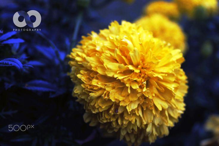 Marigod in focus - The Marigold Beauty In Dark