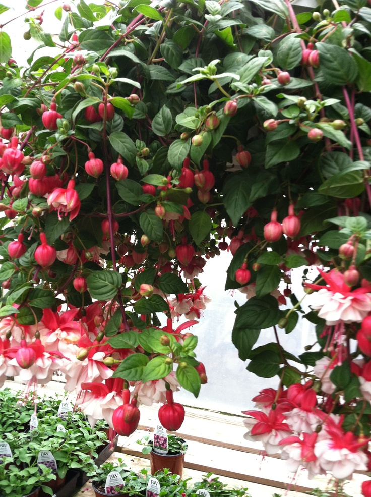 Hanging Basket Flowers Part Shade : Best images about lovely fuschia on exotic