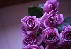 rosas roxas