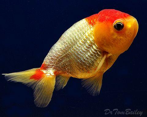 Goldfish For Sale Fancy Rare Goldfish For Sale Goldfish