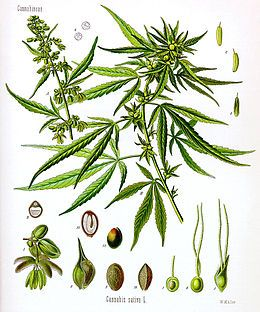 260px Cannabis sativa Koehler drawing - Kenevir (Cannabis)