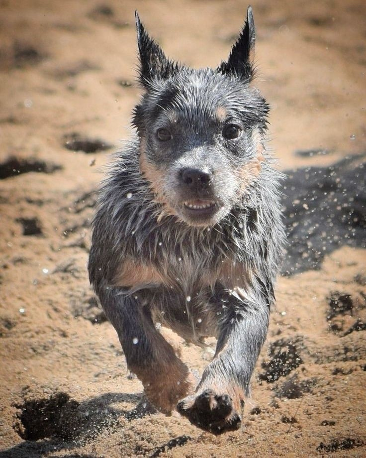 Pin By Claire On Austral Cattle Dogs Austrailian Cattle Dog