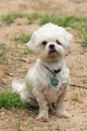 Check out Selena's profile on AllPaws.com and help her get adopted! Selena is an adorable Dog that needs a new home. https://www.allpaws.com/adopt-a-dog/shih-tzu-mix-maltese/6642259?social_ref=pinterest