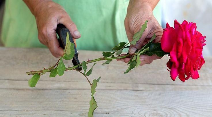 Как укоренить розу из букета » Женский Мир