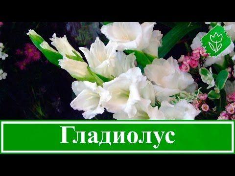 Цветок гладиолус – посадка и уход, фото гладиолусов, выращивание гладиолусов – описание; хранение гладиолусов зимой