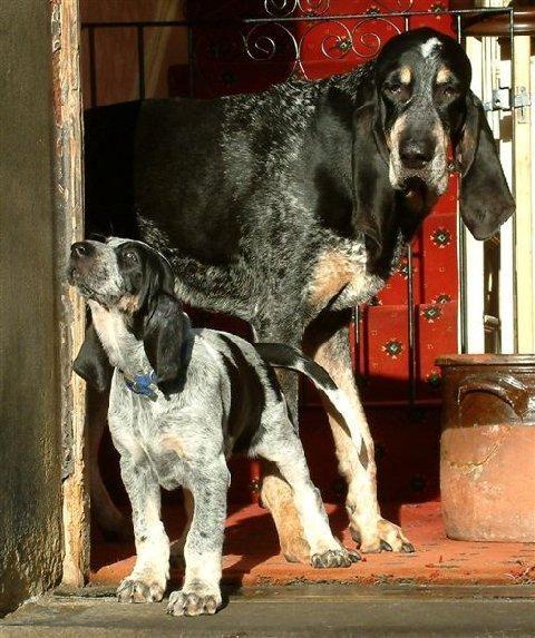 Grand Bleu de Gascogne #Hunting #Dogs #Puppy