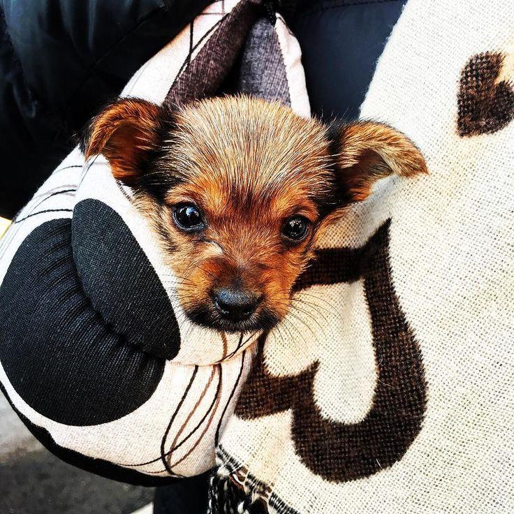 """#buongiorno dalla #cucciola più dolce del quartiere !! La sua """"mamma"""" la porta sempre in borsa che bel fagottino !!! . . . #puppy #puppydog #puppylove #puppy #puppylife #instapuppy #cucciolo #cucciolotta #instadog #dog #doggy #cane #cagnolina #puppyinthebag #puppybag #bagdog #dogbag #goodmorning #cute #cuteness #sweet #occhioni"""