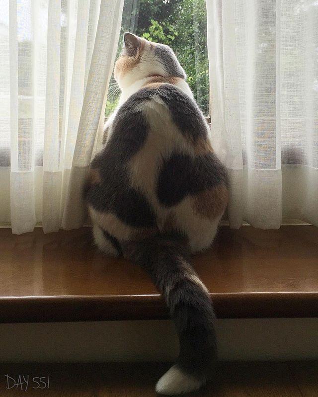 お迎え551日目 この後ろ姿が好きです💛 * #猫 #ねこ #ねこ部 #ブリティッシュショートヘア #ダイリュートキャリコ #パステル三毛 #三毛ブリ #ニッキィ #関東にゃんこ部  #neko #cat #cute #kawaii #Britishshorthair #Dilutecalico #catstagram #instacat #nekostagram #nikki  #ふわもこ部 #ペコねこ部 #ペットスマイル #みんねこ #猫モフー #picneco #catsofinstagram