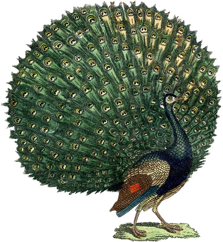 The Graphics Fairy: peacock