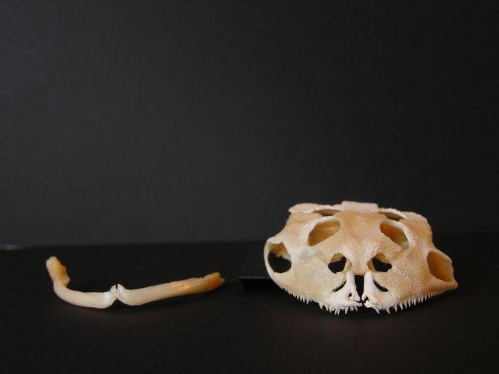 Cuidados Ceratophrys (ranas Pacman) especies, mantenimiento y reproduccion