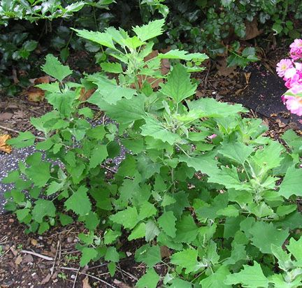 Red Aztec (Chenopodium berlandieri), aka Huauzontle, Red Spinach, Red Goosefoot. Domesticated by ancient North Americans. Similar to Lamb's Quarter's, with fiery red seed heads, 4' stalks. 'Quelite' cultivar is grown for its leaves, others are grown for their grain or broccoli-like heads. Use fresh in salads (whole leaves early sp, tips mid summer), saute in onion and garlic (older leaves), or dip in batter. Bright red color is retained after cooking. Tough. won't bolt.