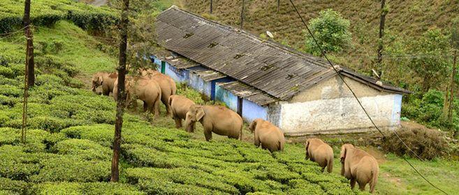 Se buscan 28 millones de euros para salvar a los elefantes en peligro de extinción