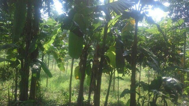 Banana  farm....Kolkata