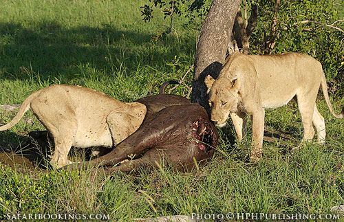 Lions at a buffalo kill (Mala Mala Game Reserve, South Africa) - South Africa travel guide: http://www.safaribookings.com/south-africa