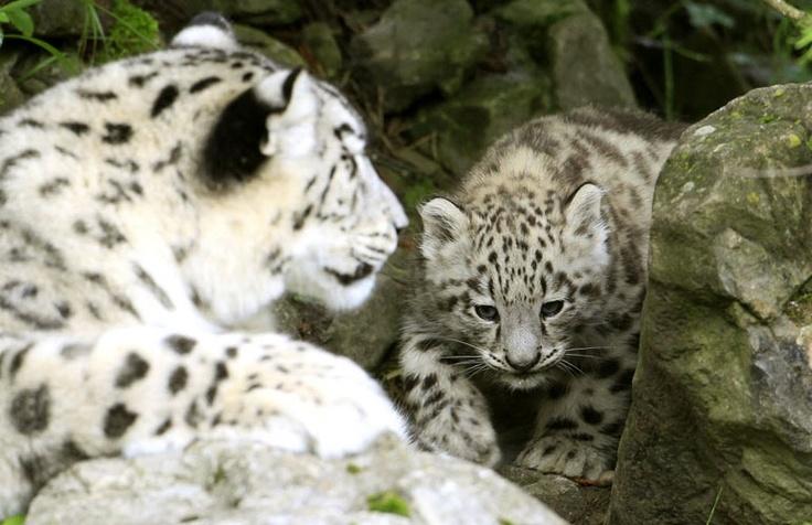 Filhotes fofos de julho (2012): Big Cat, Environment Science, Snow Leopards, Cat Living, Fofo De, Mr. Big, Filhot Fofo,  Ounce, Includ Leopards
