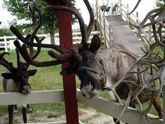Hardy's Reindeer Ranch - an Alaskan ranch on a Midwest farm, Rantoul, Illinois.