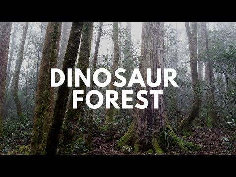 Antarctic Beech Forest, Gloucester Tops, NSW - YouTube