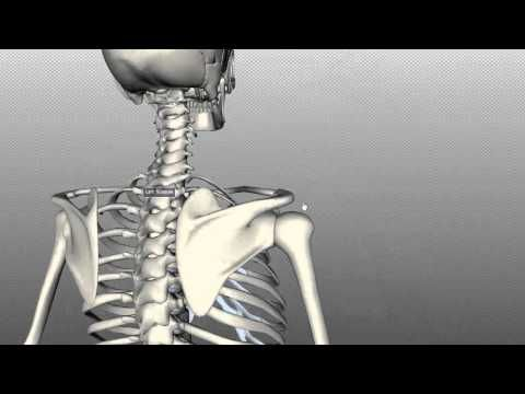 3-D: helpful for visualizing  spaces n such. Scapula and Clavicle - Shoulder Girdle - Anatomy Tutorial
