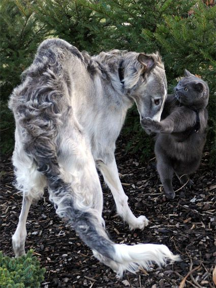 The cat looks like he is claiming the Borzoi as his. /The Borzoi Who Befriended A Handsome Cat   22 Of The Cutest Things On The Internet