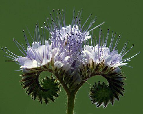 1000 images propos de plantes et fleurs comestible sur pinterest mauve - Plante qui pousse sans terre ...