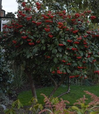 10 best images about cotoneaster cornubia on pinterest for Evergreen trees for small gardens