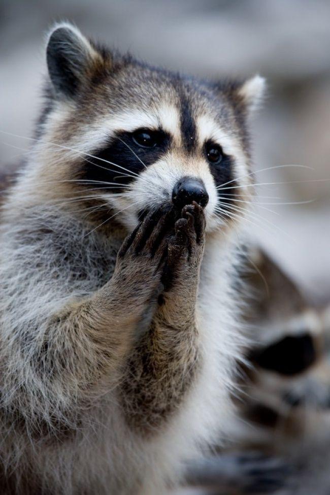 EnGenial.guru estamos seguros deque los mapaches son los nuevos gatos del internet, por eso terecomendamos entrar aeste post cada vez que quieras sonreír alver estas caritas con antifaz.