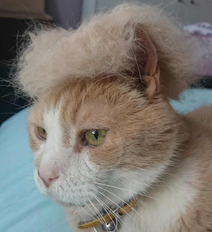 I brushed my old man cat and made him a Donald Trump wig out of his hair.