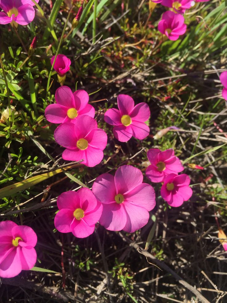 Frutang-indigenous name given by the locals to this small pink flower.