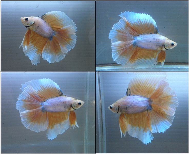 17 best images about awesome cool betta fish on pinterest for Baby betta fish