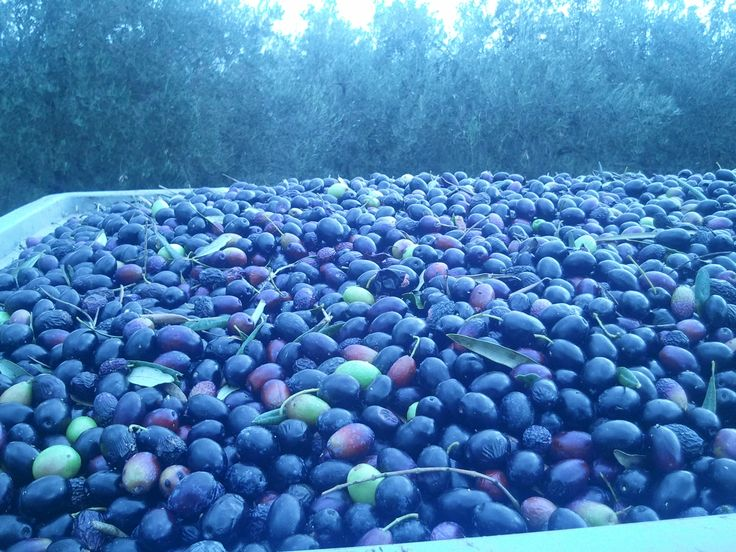 The olives ready to give us their oil