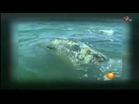 Continúa avistamiento de ballena gris en los santuarios de Baja California Sur