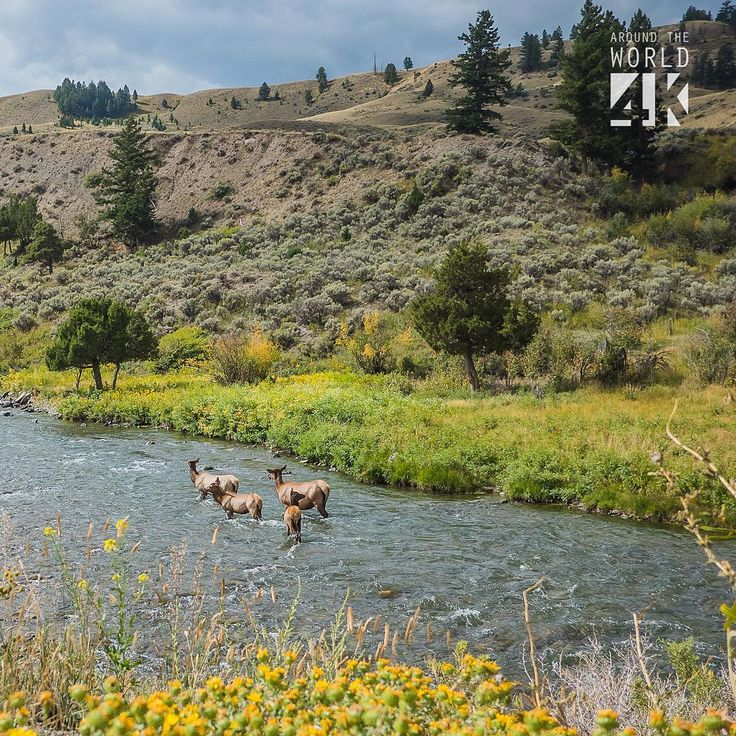A family of deer going upstream in Yellowstone National Park (...)
