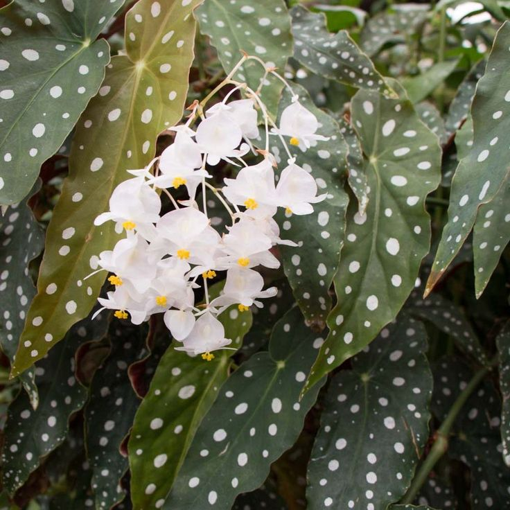 Begonia maculata var. wightii - Bogolan Inspired Planting Recipe for A Houseplant Garden