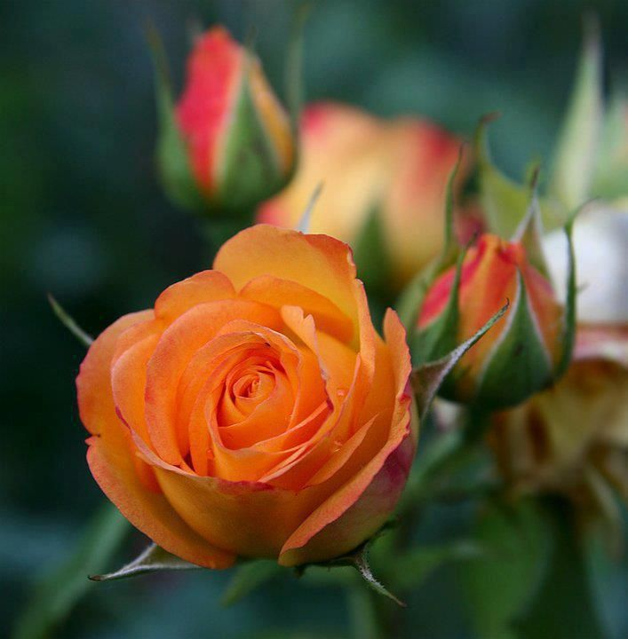 119 Best All Things Roses Images On Pinterest Pink Roses