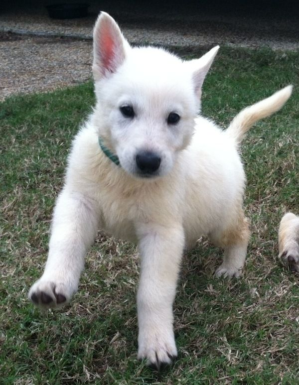 nova adorable white german shepherd puppy