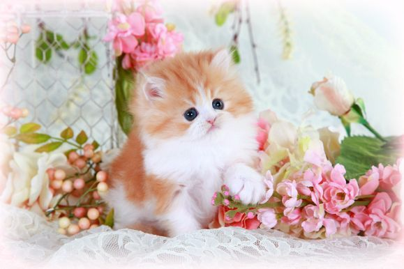 Teacup Kittens For Sale Persian Cats Teacup Kittens For Sale