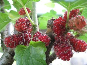 The mulberry bushes in our garden seem to hold precedence over all the other plants. Maybe that's because they are so easy to care for, are useful and fruit so easily. You don't have to…