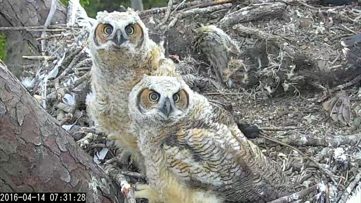 Savannah Owls/Landings Bird: 7:31 4/14/16 Love those faces!  Their facial disks are looking almost just like mom's.