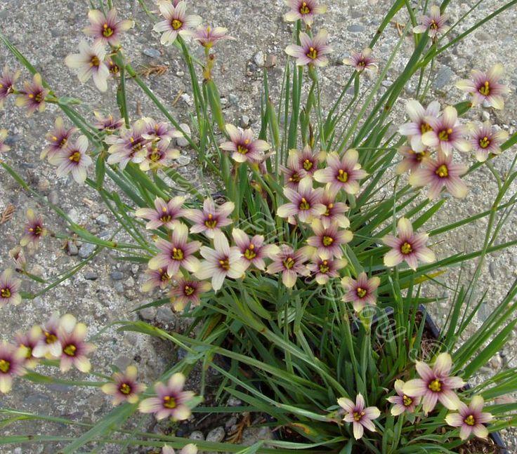 430 besten alpine plants bilder auf pinterest sch ne blumen alpine pflanzen und wildblumen. Black Bedroom Furniture Sets. Home Design Ideas
