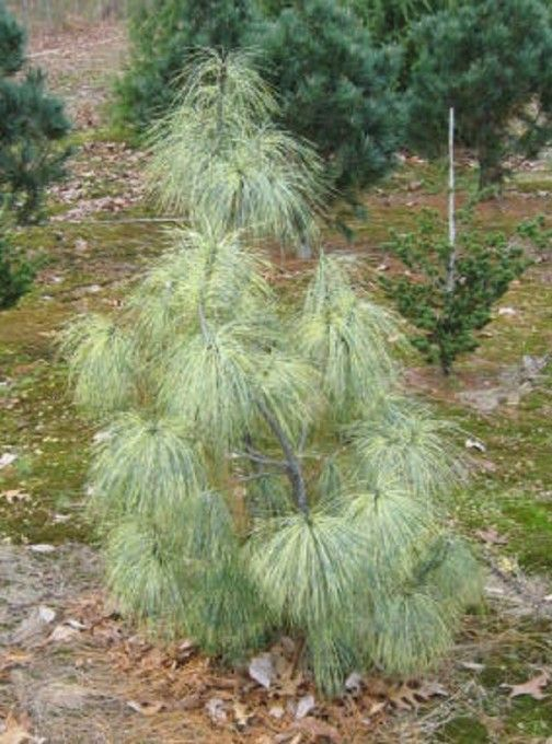 Pinus wallichiana Zebrina:  Himalayan Pine This variegated selection of the beautiful Himalayan Pine has the same long, thin needles as the species, but with bands of yellow that create a bright effect both close up and viewed from afar.