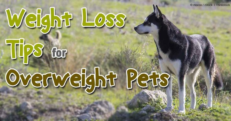 Get these pet weight loss tips to help your overweight pet go back to his/her ideal weight. http://healthypets.mercola.com/sites/healthypets/archive/2010/12/07/weight-loss-tips-for-pets.aspx